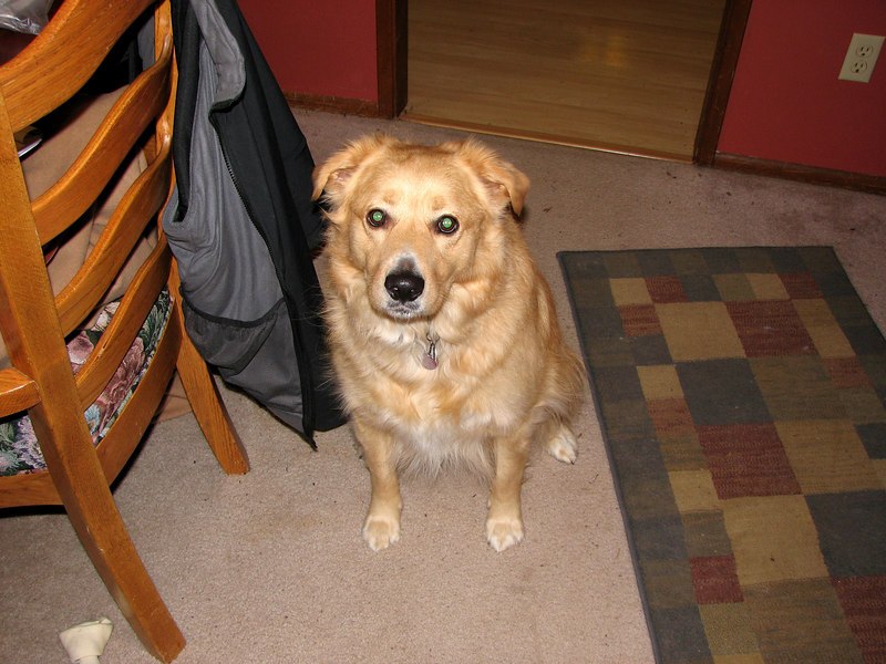 Casey, Golden/Collie mix. 2003-2011.  Keeping Rusty company.