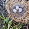Junco nest
