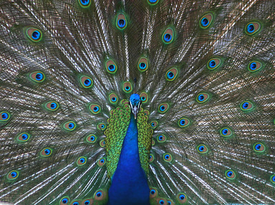 """The peacock was however pretty amazing.  It put on its show and trapped a female peacock who pretty much shrugged it off sor of like """"so what""""!"""