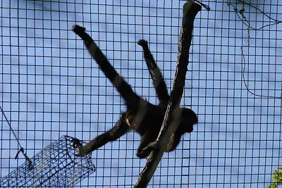 One of those spider monkeys