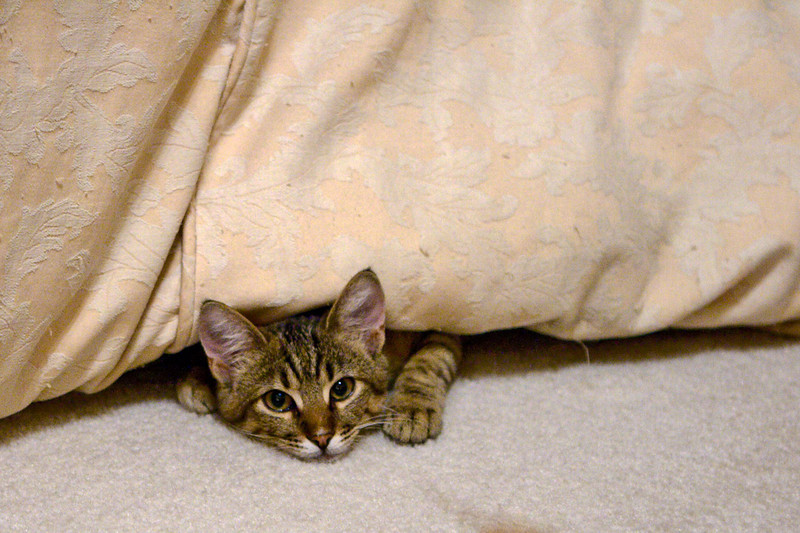 This became a ritual every morning before work. Tiger hiding between the comforter and the bed, and popping out unexpectantly to snag a foot or sock.