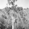 Lemon Verbena Eucalyptus at the Sespe Creek Camp