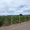 10 catena vines