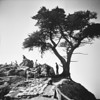 Cypress Tree, 17 Mile Drive, Pebble Beach<br /> May, 1960