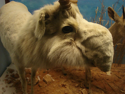 Saiga in the Field Museum