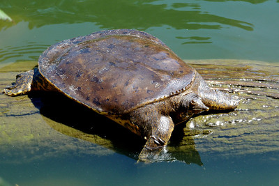 Turtle at Stow Lake, Golden Gate Park
