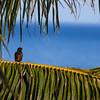 One of the many myna birds.
