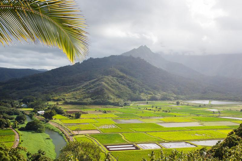 Taro fields in Princeville.