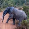 African Bush Elephant Crossing Road