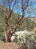 Manzanita on the trail