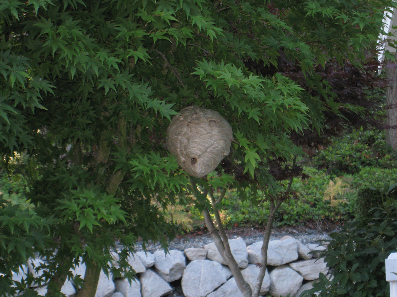 Bald-faced hornet's nest at a house down the street from my parents' house
