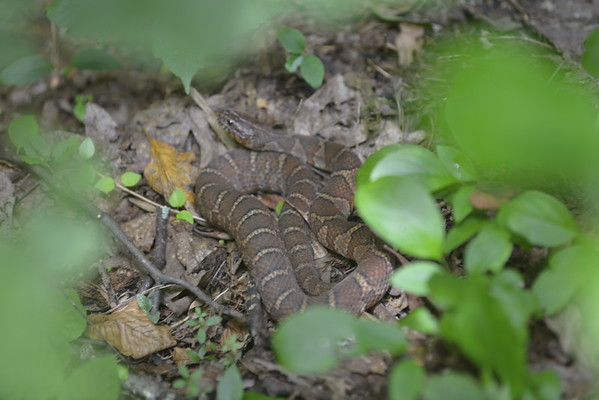 Copperhead Snake at Anna Ruby Falls