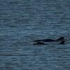 Dolphins at Garris Landing, SC