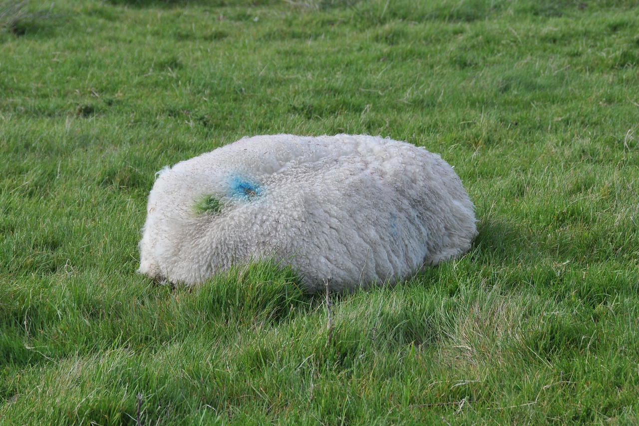 A sheep, not a rock