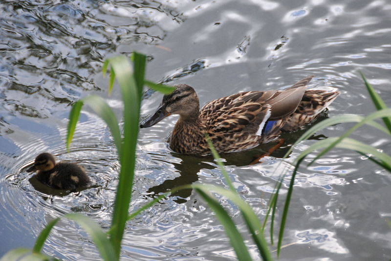 Momma and baby duck in canal.