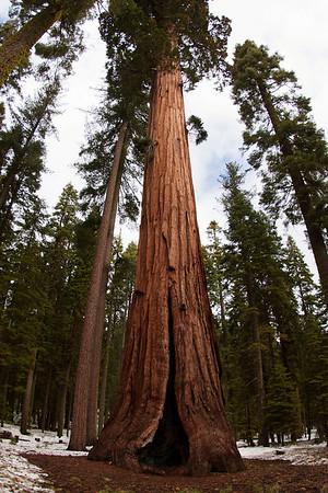 Mariposa Grove of giant sequoias, Yosemite April 21, 2011