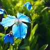 Blue Iris, Dunvegan Castle, Isle of Skye, Scotland.