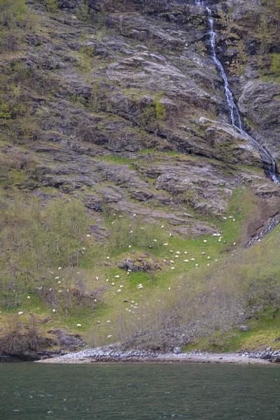 Sheep below a waterfall, Nyreofjord, Norway.