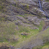 Sheep below a waterfall, Nyreofjord, Norway.