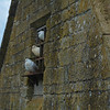 Pigeons, Snowshill Manor, The Cotswolds, England.