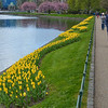 Yellow tulips, Bergen, Norway.