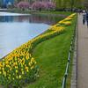 Yellow tulips, Bergen, Norway.