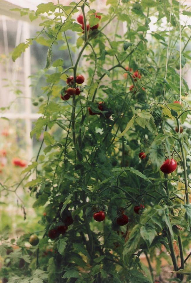 tomatoe plants2