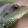 Lizard, James L. Popp Nature Conservancy