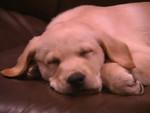 Cobi puppy