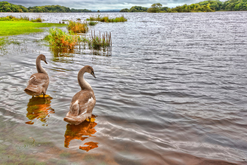 """Lough Leane Lake-Ross Castle-Killarney Ireland sits on Lough Leane lake. """"Lake of learning"""" as it is known has an eerie feel when clouded over as it was the day we were there. This pair of geese seem to like it just fine."""