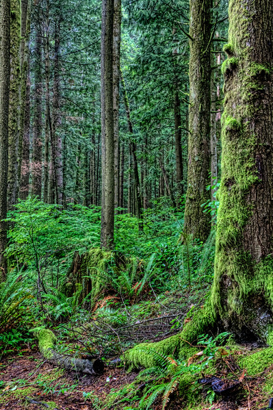 Old Growth Forest of the Olympic Peninsula<br /> On the way to the Hoh Rain Forest in Olympic National Park, I stopped off to wander through some old growth forest. I found a dirt road andI just started walking. The eerie wet forest was alive with activity mostly from under my feet. Everywhere you walked it was spongy. You could hear the buzzing, scaping and knawing sounds from organisms,insects, animals and who knows what else, decomposing the earth from below. I was afraid I would fall into the abyss never to be heard from again. Traveling alone, it's easy to get spooked by these types of things. I took a couple of photos and wandered back to the truck to get back on track for my journey to the Hoh Rain Forest.