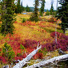 """Colors of Autumn at Yellowstone National Park<br /> I guess years ago fires ravaged this area as is evident of the scarcity of trees and low lying bushes and scrubs that have taken there place. It made for some interesting fall colors, just creeping along the ground and out into the meadows. I spent quite a bit of time just wandering through the swampy, low lying area. Kind of felt at home in the muck, sort of speak.<br /> <br /> Office Art can be found at: <a href=""""http://www.songbirdplants.com/office_photo_art.html"""">http://www.songbirdplants.com/office_photo_art.html</a>"""