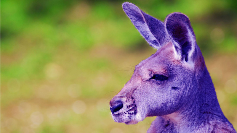 A Standy Uppy Purple Kangaroo