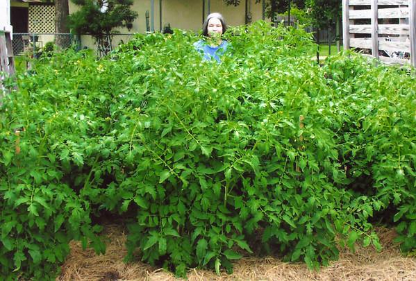 Cherry's tomato garden 1446 14th Street Hempstead, Texas