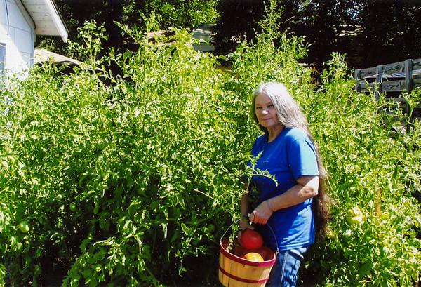 Cherry picking tomatoes 1446 14th Street Hempstead, Texas