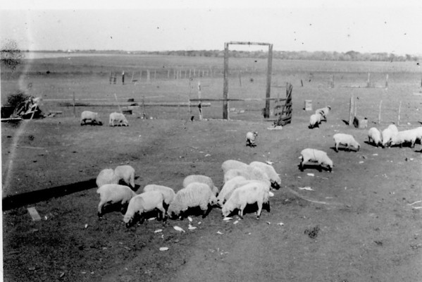 Papa George Jacob's sheep at the farm in Waller, Texas.