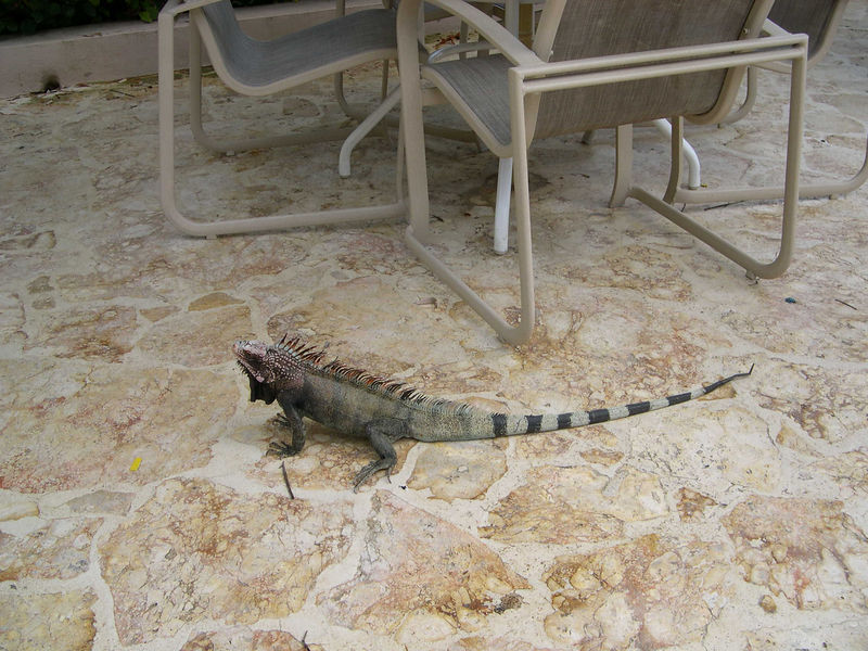An ugly iguana on the pool deck.  Jonathan was fascinated by the iguanas, but the rest of us quickly got sick of seeing them.