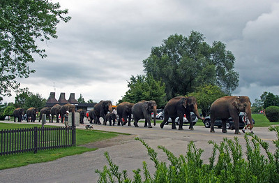 Elephants on parade, going swimming!  http://www.lionsafari.com/attractions.asp