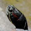 Hakone Turtle