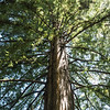 Sequoia tree at Hakone
