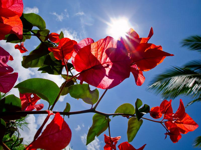 Bougainvilleas bask in sunlight.