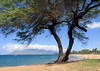Tree at Kamaole Beach 1.