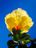 Yellow hibiscus shot from below against a clear blue sky.