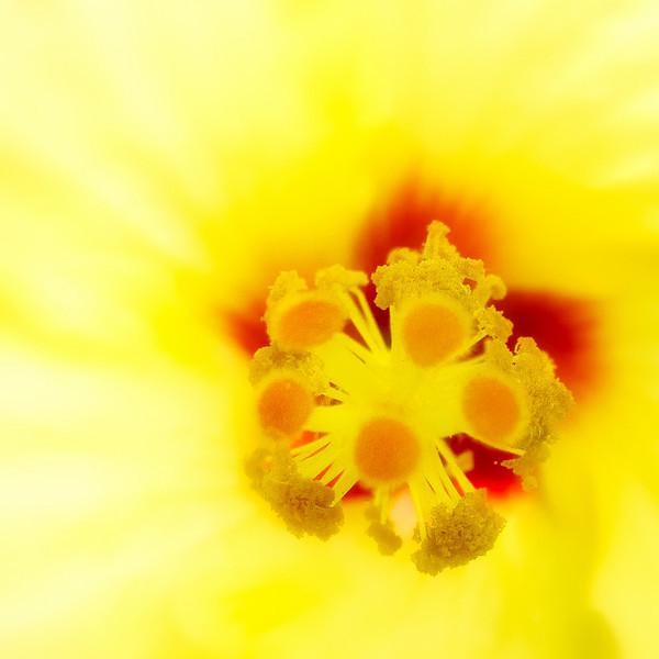 Yellow hibiscus, Hawaii's state flower.