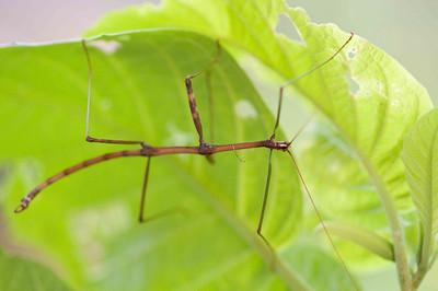 A stick mantis, I think.