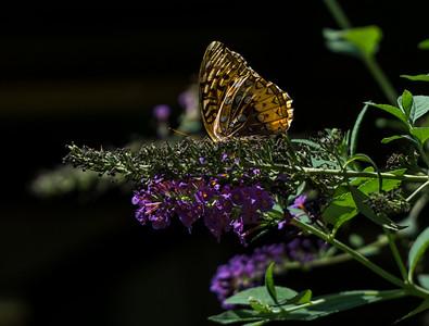 A flutterby on Duba's butterfly bush..