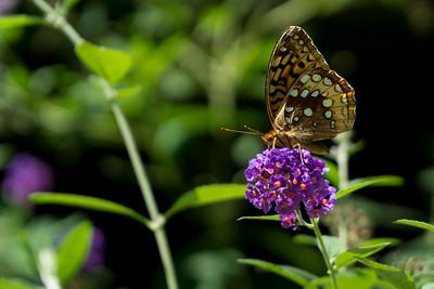 This. On Duba's butterfly bush.