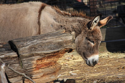 donkey scratches himself against the bark