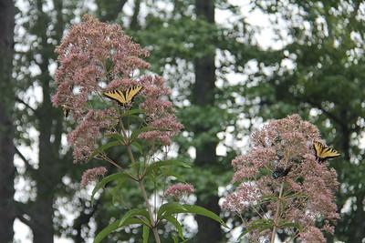 lots of Eastern Tiger Swallowtail butterflies