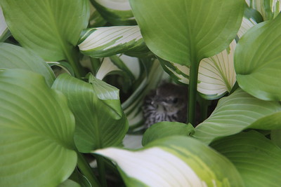 baby bird (fell out of nest?) safe in the hosta